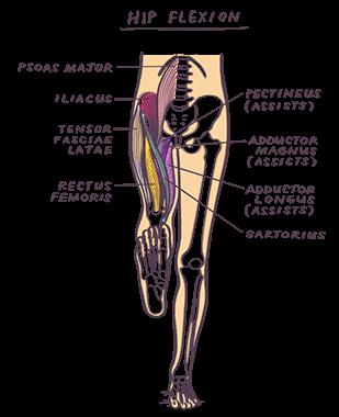 Muscles & Movement - Illustrated Yoga Anatomy